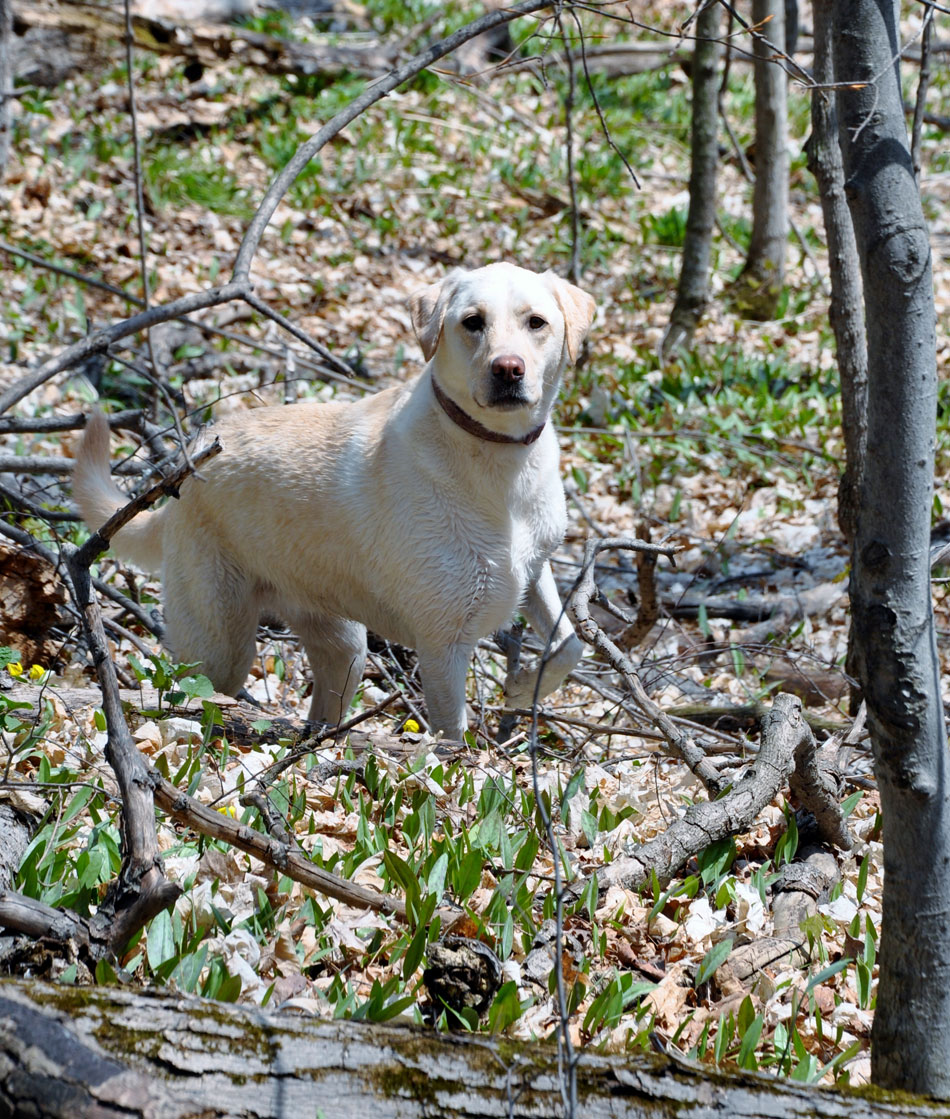white lab standing in forest